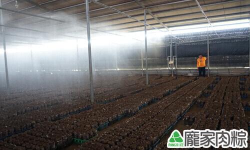 固定時間澆水保持香菇的濕度