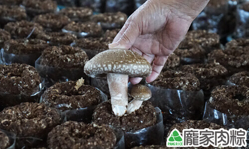 香菇還都必須以人工的方式採收