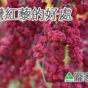 112-00台灣紅藜與進口紅藜麥的不同(龐家肉粽端午節粽子食材介紹)